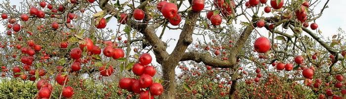 Вырастить яблоню из черенка можно по-разному