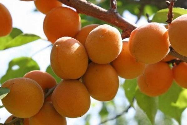 Весенняя обрезка абрикос