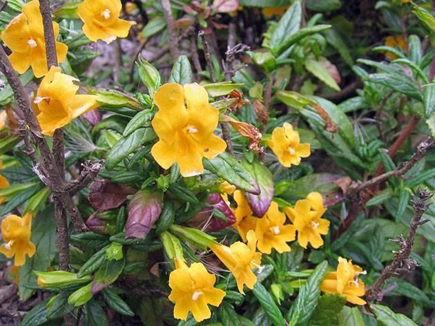 Мимулюс (губастик) — изгоняющий моль: посадка выращивание и уход