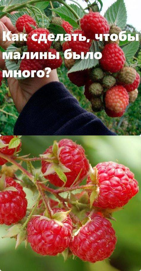 Малина – выращивание и уход