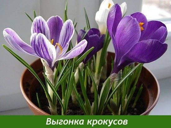 Выгонка луковичных цветов и кустарников