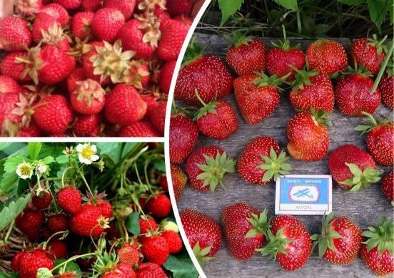 Полезные заготовки из ягод на зиму. сушим клубнику в электросушилке. пошаговый рецепт с фото