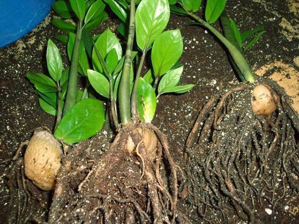 Размножение замиокулькаса – все возможные способы