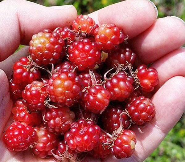 Лечебные свойства растения княжик сибирский и его применение в народной медицине