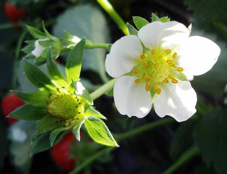 Лучшие сорта безусой садовой земляники: описание с фото, рекомендации по выбору