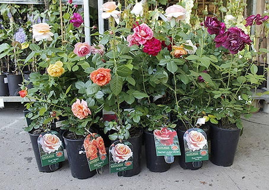 Как правильно сажать розы, купленные в коробке