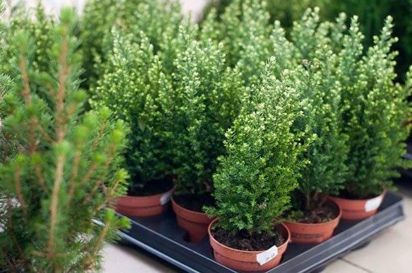 Все про выращивание кипариса из семян в домашних условиях