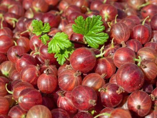 Крыжовник: польза уникальной ягоды