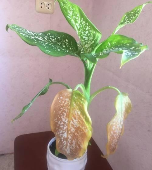 Выращивание комнатной диффенбахии