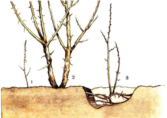 Малина на дачном участке: способы и особенности размножения