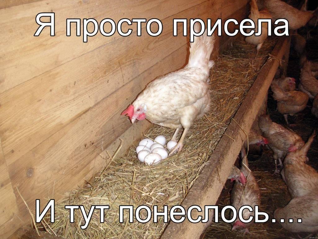 Особенности яйценоскости молодых кур