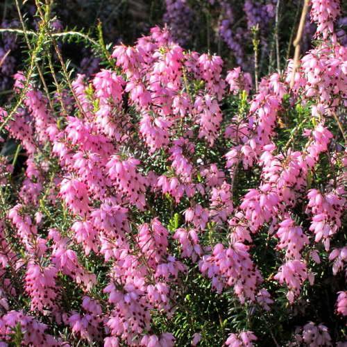 Растение эрика посадка и уход в открытом грунте выращивание в саду и домашних условиях фото