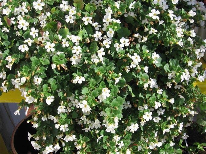 Бакопа: содержание и уход за аквариумным растением, выращивание, виды