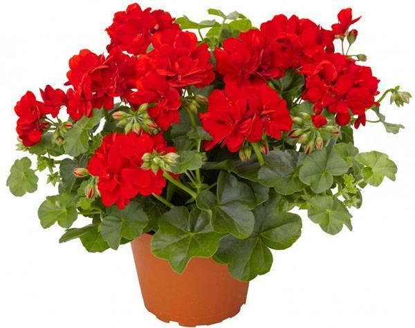 Чем подкормить герань для обильного цветения дома подкормки народными средствами и препаратами