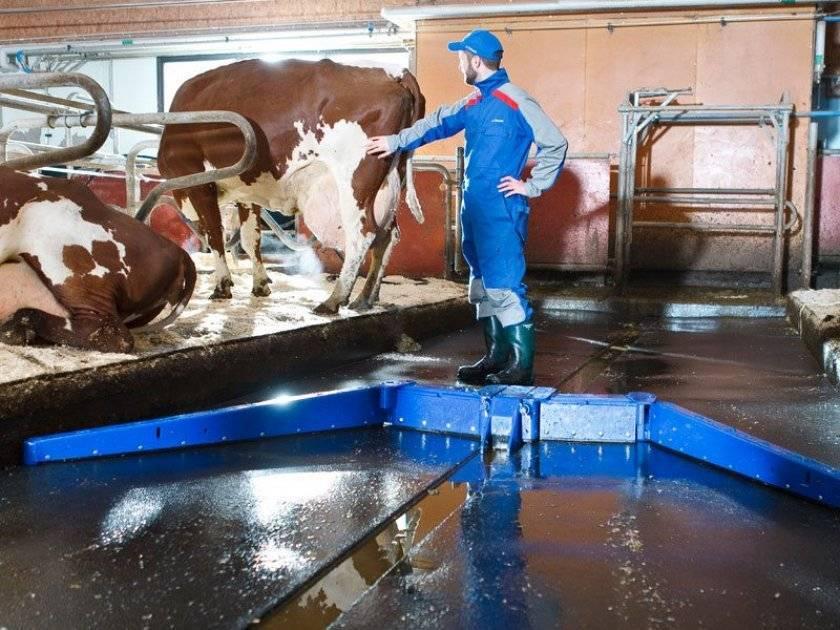 Карликовые животные на ферме — коровы, быки, овцы, лошади, куры, тонкости разведения, видео
