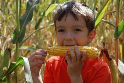 Интересно и познавательно: сведения о созревании кукурузы