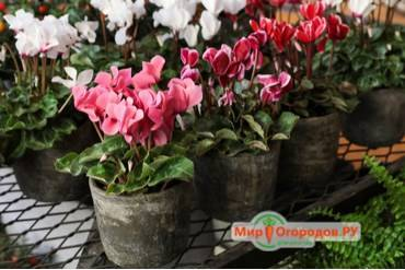 Как вырастить цикламен из семян в домашних условиях