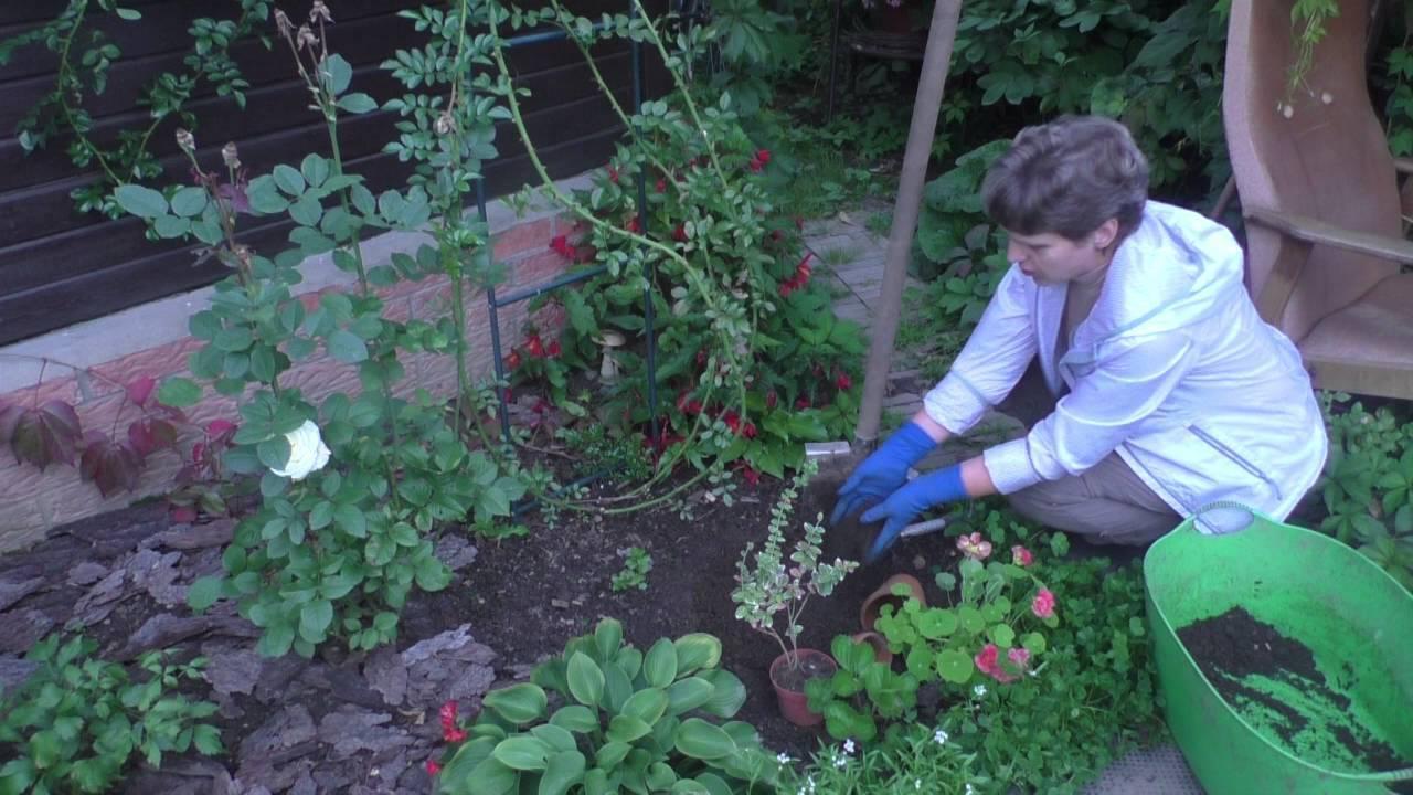 Посадка и уход за бересклетом на садовом участке