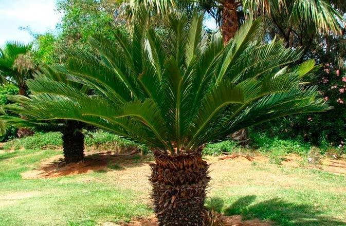 Как ухаживать зацикасом, иможноли самостоятельно вырастить «мини-пальму» изкосточки