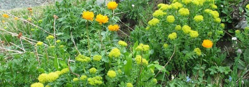 Лабазник, лечебные свойства и противопоказания