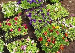 Цветок космея - особенности посадки и ухода