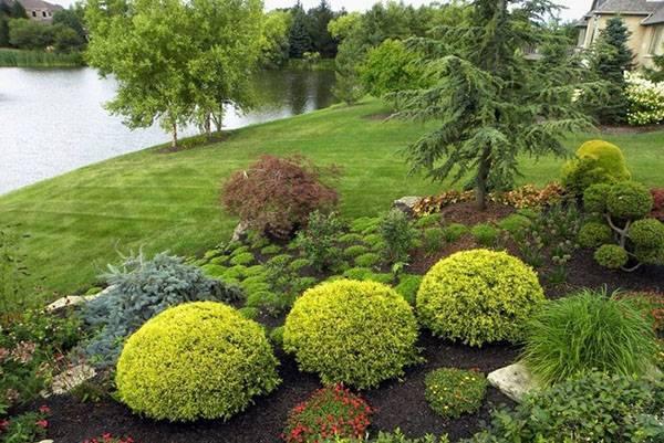 Как посадить тую для живой изгороди на даче