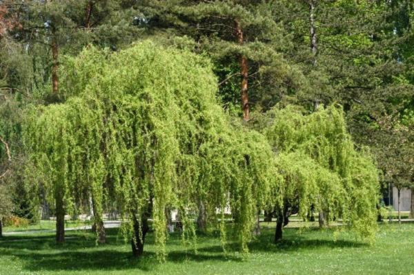 Агротехнические правила посадки и выращивания ивы матсудана