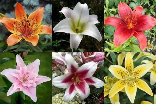 Сезонные подкормки лилий