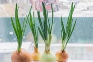 Инструкция, как вырастить лук на подоконнике в квартире зимой без земли. описание всех способов выращивания