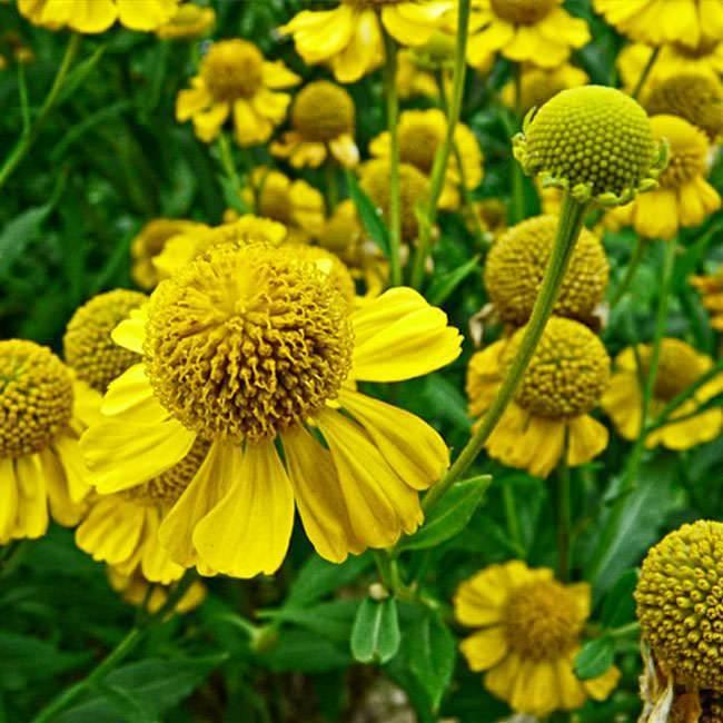 Выращивание цветов гелениум из семян
