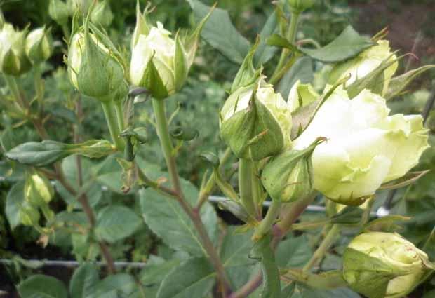 Тля на розах — как быстро избавиться?