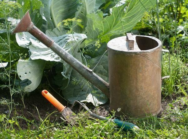 Когда проводить полив картофеля и как это сделать капельным методом?