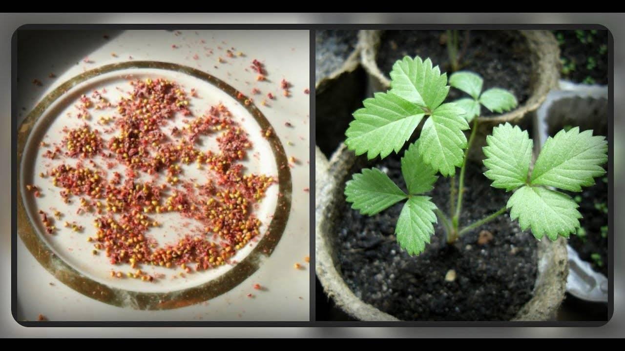 Как и когда сажать землянику (клубнику) на рассаду, ухаживать, пикировать