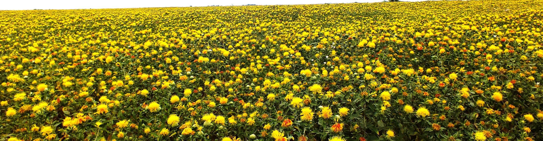 Выращивание сафлора. применение. посев. сорта, виды, разновидности. уход за посевами. сбор, уборка урожая