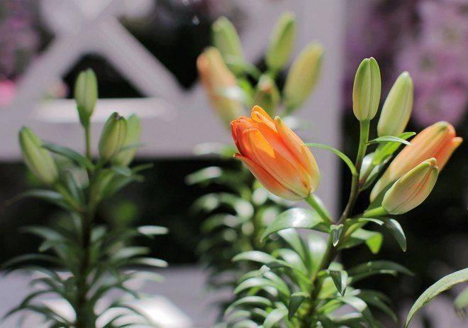 Лилии — уход и выращивание