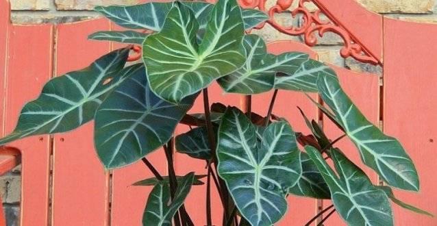 Как ухаживать заалоказией, декоративным растением слечебными свойствами