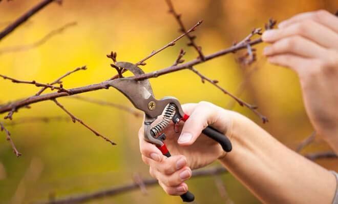 Как сажать войлочную вишню весной: пошаговая инструкция