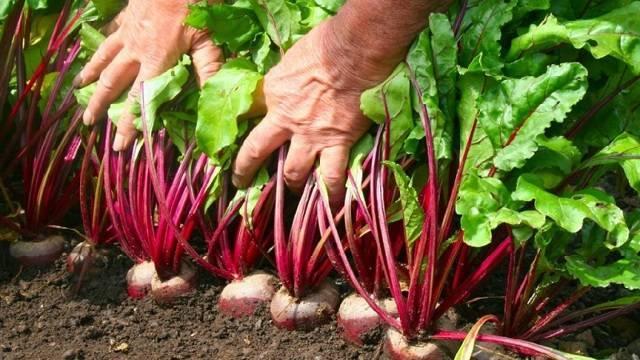 Как правильно выращивать свеклу в открытом грунте из семян