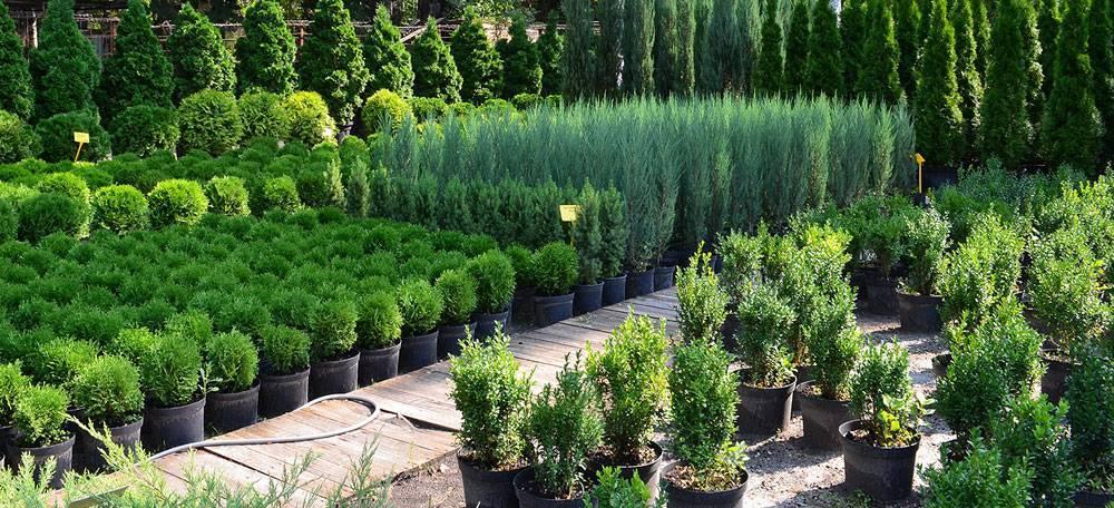 Саженцы туи: как правильно выбрать и посадить?