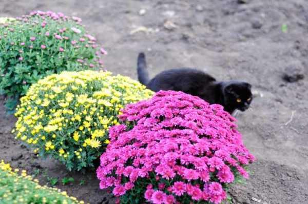 Выращивание хризантемы мультифлора