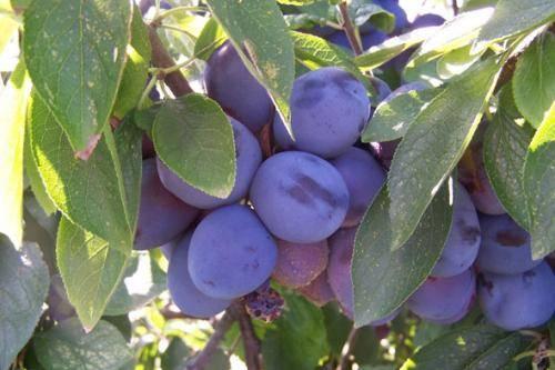 Как правильно посадить сливовое дерево и ухаживать за ним