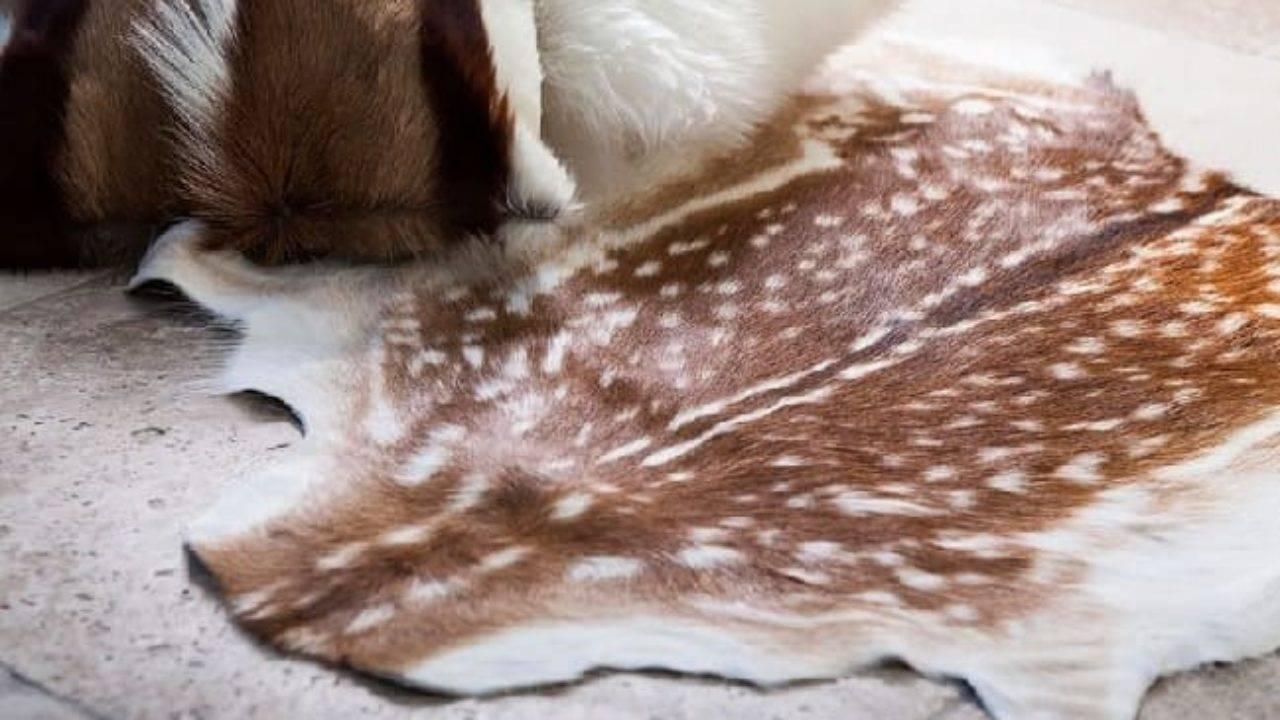 Простые секреты выделки шкуры лисы в домашних условиях