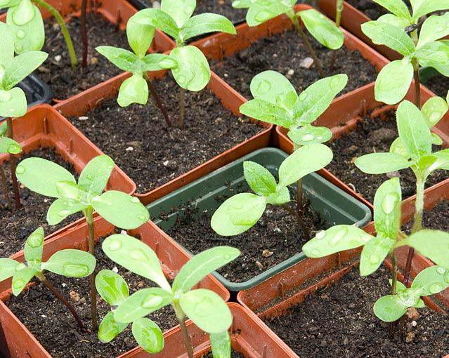 Гелениум многолетний: сорта, посадка и уход в открытом грунте