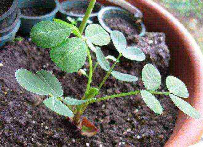 Арахис – выращивание в открытом грунте; как вырастить земляной орех