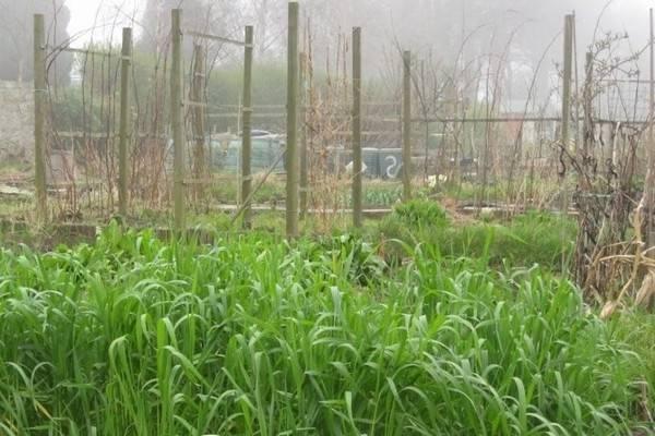Удобрение из ржи – обогащение и рыхление грунта