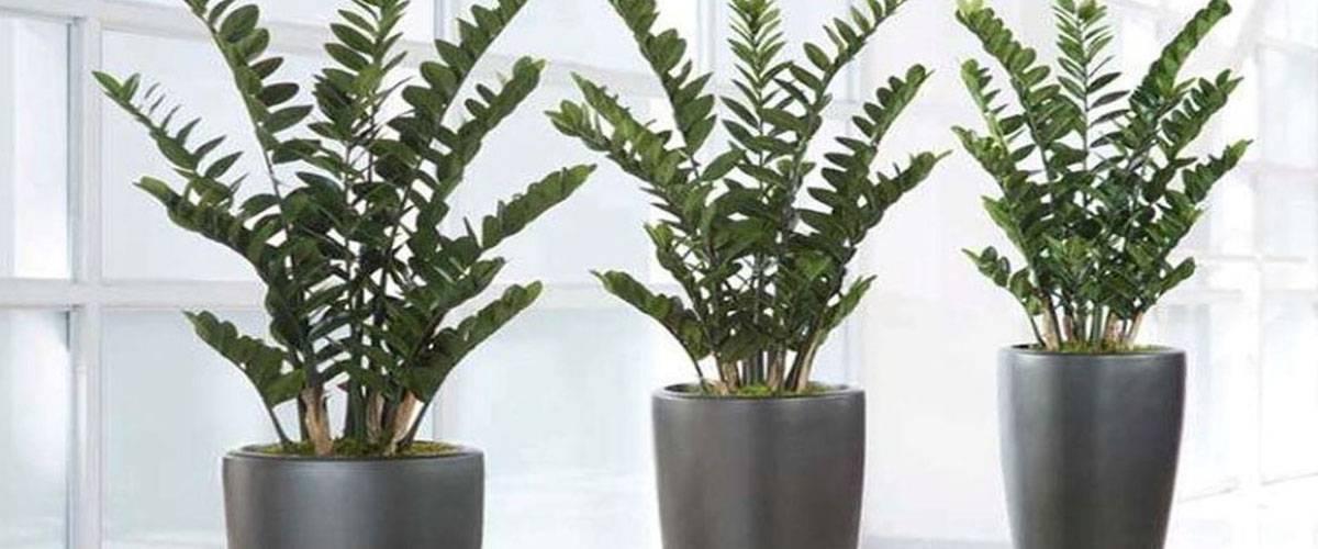 Как размножить замиокулькас в комнатных условиях
