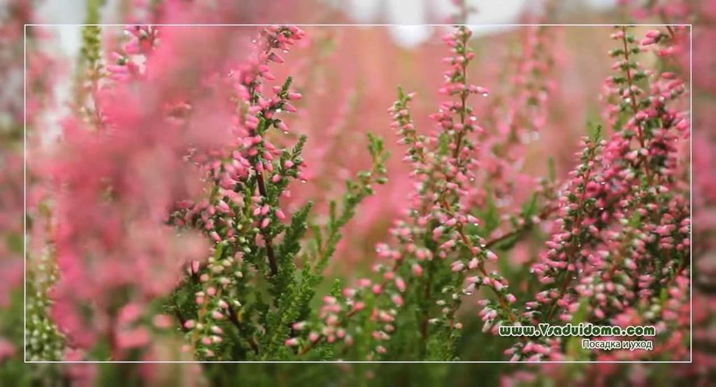 Вереск: все, что нужно знать о вечнозеленом кустарнике.