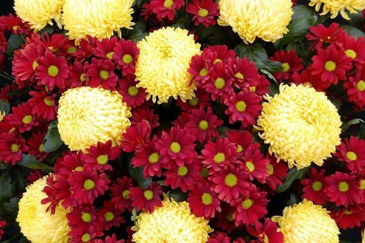 Хризантемы: выращивание в доме