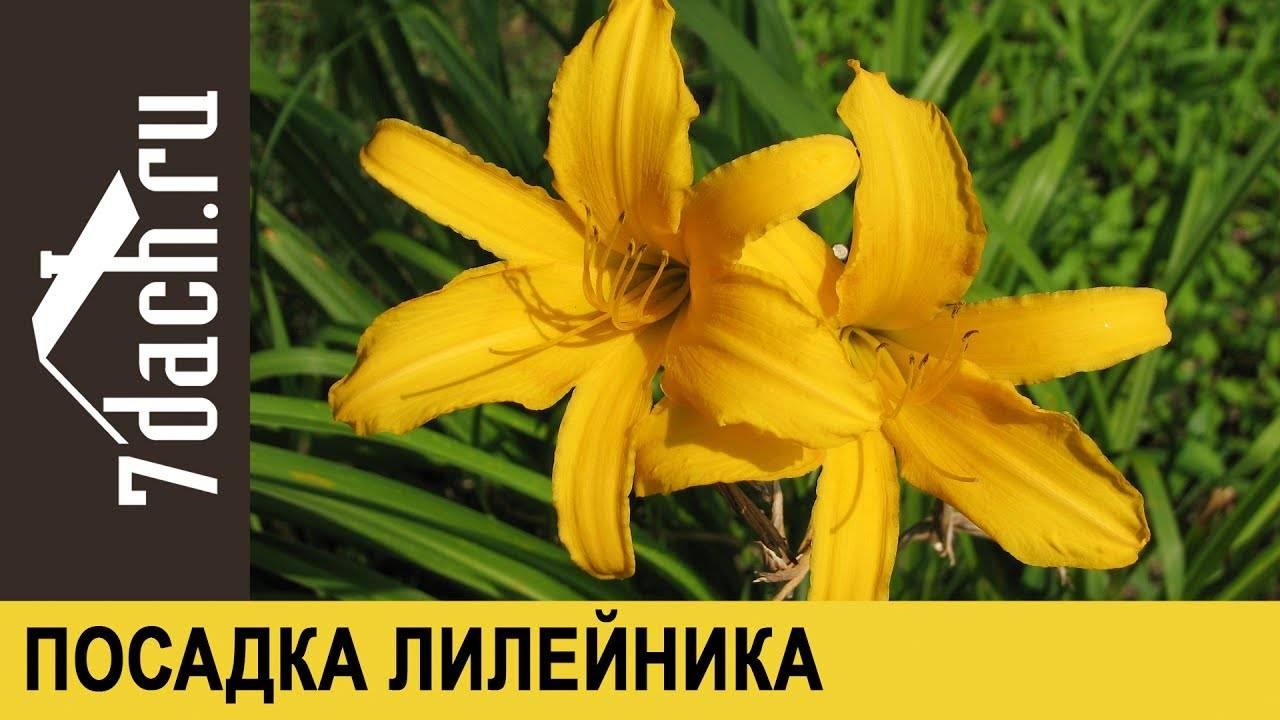 Лилейник: посадка и уход в открытом грунте, особенности полива, фото