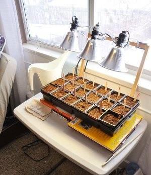 Как вырастить рассаду мелиссы: на даче, в огороде, на подоконнике, в домашних условиях